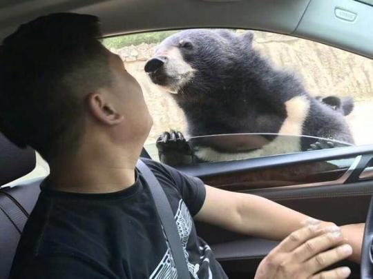 熊咬人视频公布:黑熊被驱赶后游客继续违规投食