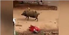 印度老妇遭两头猪袭击 被拱翻在地疯狂啃咬