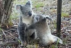 澳考拉妈妈救出被困幼崽相互依偎