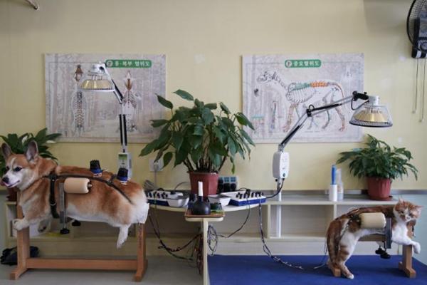 诊所为宠物做针灸理疗 4年治疗2000猫狗