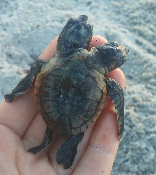美海滩惊现双头小海龟 疑基因突变所致