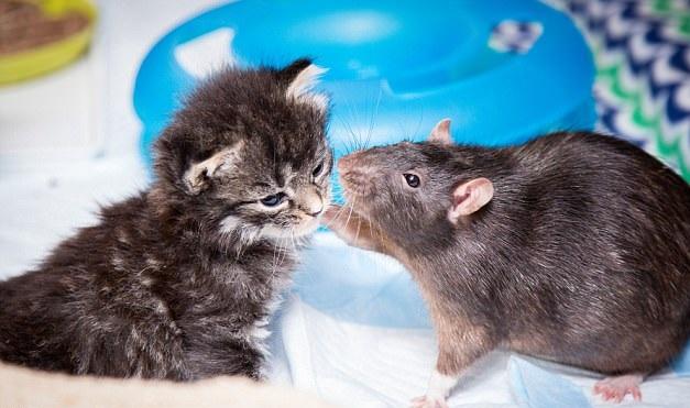 """美猫咪咖啡店小老鼠扮""""慈父""""悉心照料喵星人"""