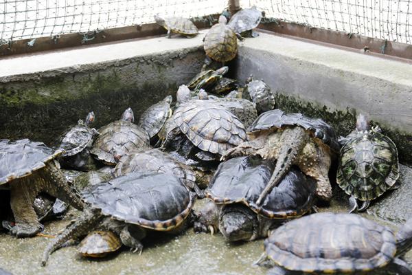 """野生动物救助站""""龟满为患"""" 多为市民弃养"""
