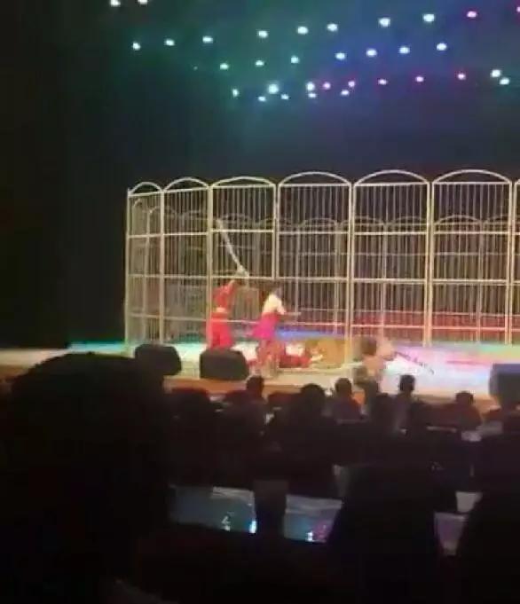 老虎表演中突然扑倒驯兽师 连爪带嘴对其撕咬