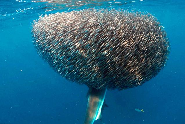 澳鲨鱼邂逅球状鱼群 溜进去躲猫猫