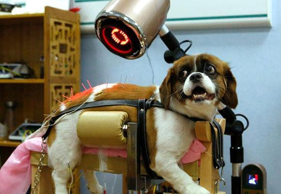 北京一宠物医院为猫狗推出中医理疗服务