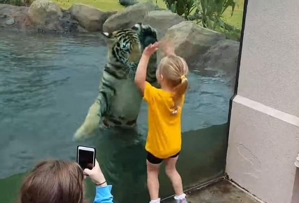 """英动物园老虎与女童嬉闹玩耍上演""""人虎奇缘"""""""