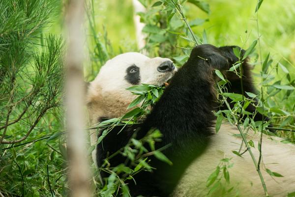"""爱丁堡动物园证实""""甜甜""""怀孕 期待诞下熊猫宝宝"""