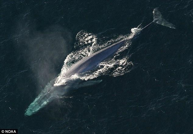 研究:海洋人为噪音增加或致鲸鱼发声频率降低