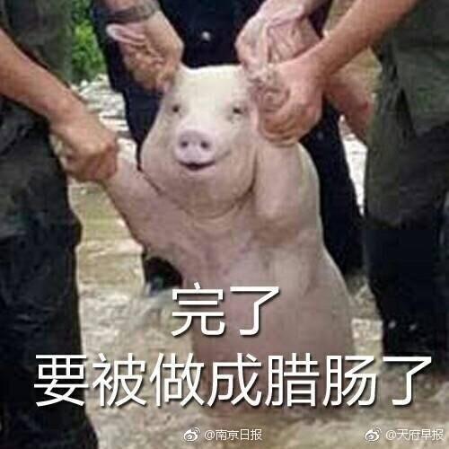 这只受灾的猪被做成表情包了!有点心疼