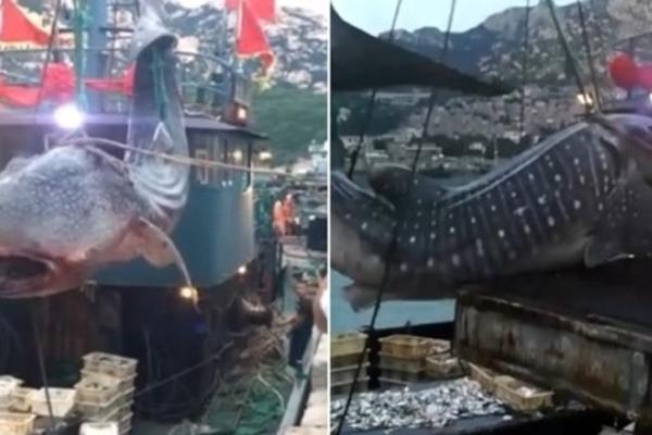 休渔期鲸鲨被渔网缠死 警方介入调查