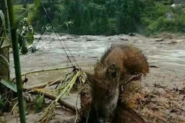 四川雅安强降雨引发山洪 道路损毁野猪被冲下山