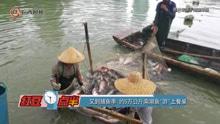 """又到捕鱼季 约五万公斤南湖鱼""""游""""上餐桌"""