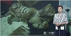 美国少年欲偷运小老虎回美被捕 花300美元购得