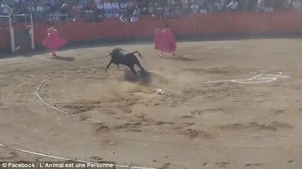 法动物保护者跳入斗牛场中阻止决斗惨遭斗牛猛攻