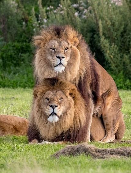 """英动物园两雄狮""""亲密互动""""无视母狮 场面尴尬"""