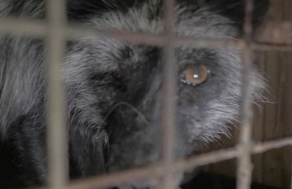 芬兰狐狸养殖场遭曝光 环境恶劣手段残忍