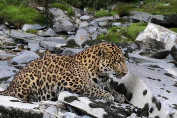 四川炉霍现野生花豹 滞留数小时后返回森林