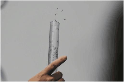 """巴西科学家释放百万""""良性""""蚊子 欲阻登革热传播"""