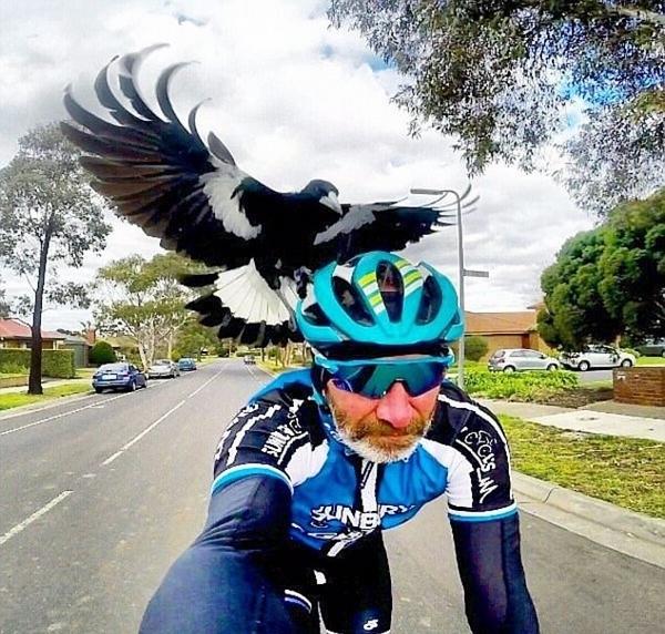 愤怒的小鸟!澳喜鹊护犊心切频繁攻击路人