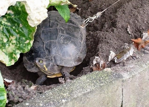 残忍!德主人给宠物龟龟壳上钻孔拴链以防走丢