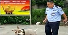 派出所欲把走丢的狗训练成警犬 结果成了看门犬
