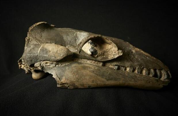 研究称古鲸长有锐利獠牙 推翻牙齿过滤摄食理论