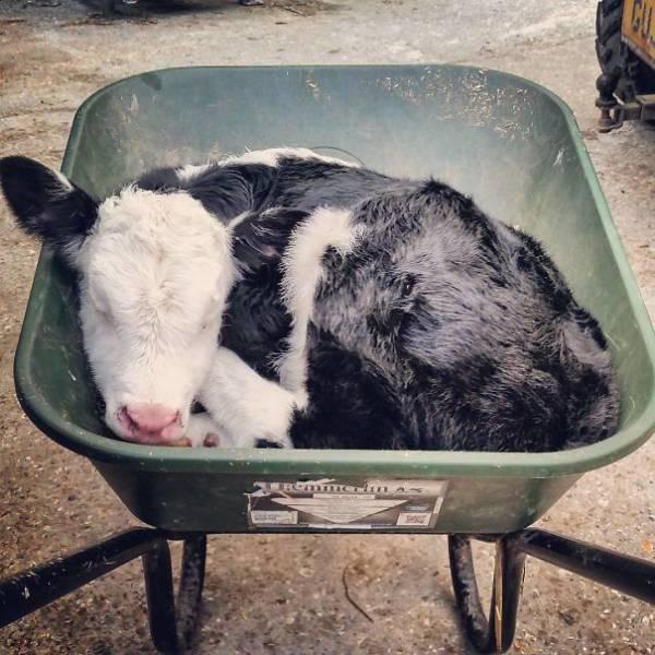 有只宠物小牛也不错图片