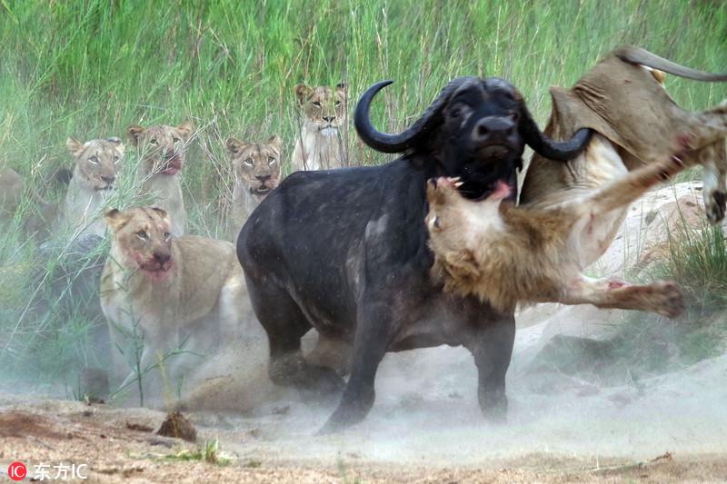 实拍动物猎食瞬间 简单粗暴尽显自然本性