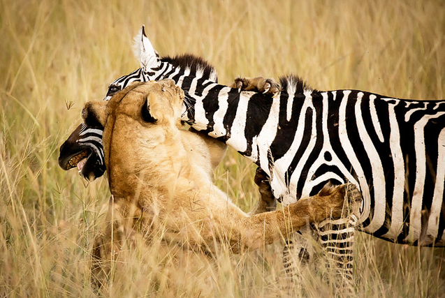 动物猎食瞬间 简单粗暴尽显自然本性