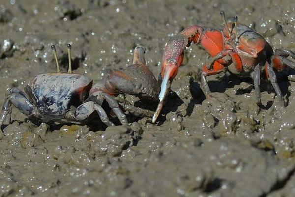 青岛滩涂满地螃蟹挥舞巨螯为求偶