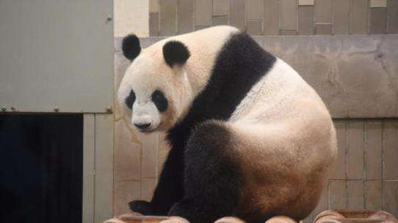 日媒:起啥名好呢?旅日大熊猫宝宝候选名简至8个