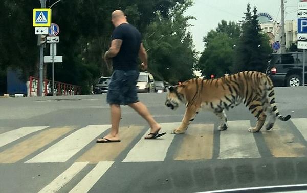 惊呆!俄男子上街遛老虎吓坏路人引发网友讨论