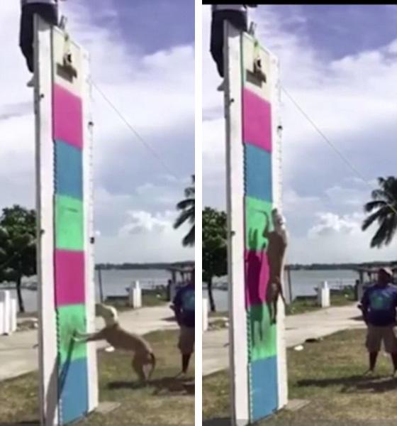 墨斗牛犬轻松跳上4米高垂直墙面令人惊叹