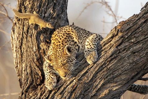 """南非松鼠趁美洲豹睡着凑近""""看热闹"""""""