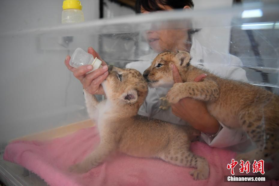 云南野生动物园新添狮子双胞胎呆萌惹人爱被蚊子咬过的苹果能吃吗图片