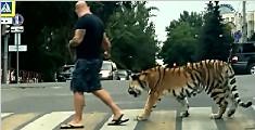 俄罗斯男子上街遛老虎吓坏路人 老虎一脸淡定
