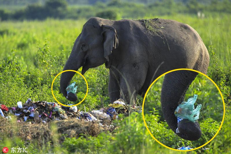 印度大象以垃圾为食 环境污染令人心忧