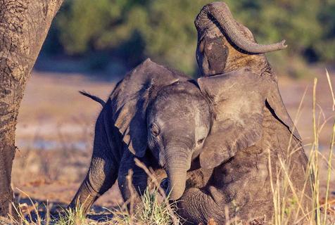 非洲小象摔跤比赛 可爱画面引人爆笑