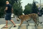 俄男子上街遛老虎