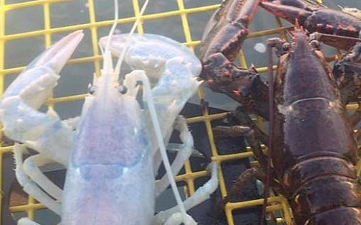 """渔民逮到""""幽灵""""龙虾?或患严重疾病"""