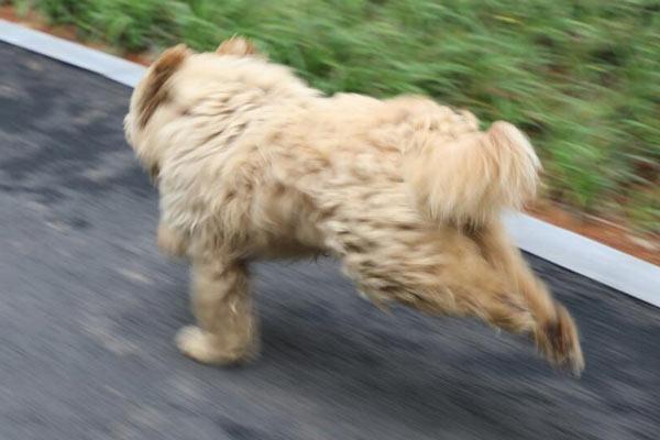 小狗狂奔1000米找主人 游人:如同生死时速