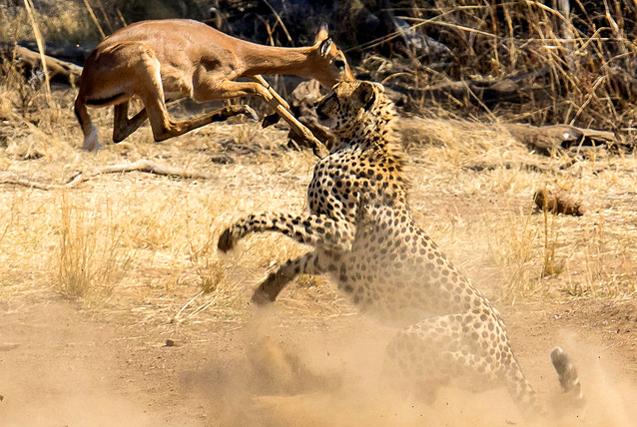 南非猎豹捕食黑斑羚 来势汹汹似打拳击