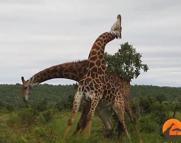 """南非两雄性长颈鹿为争夺交配权展开激烈""""脖斗"""""""
