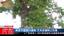 两男子猛摇行道树 只为采摘树上白果