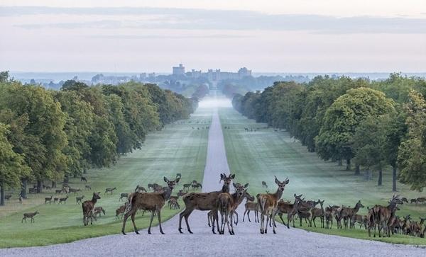 英温莎城堡前鹿群薄雾中漫步如梦似幻