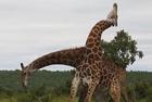 """两长颈鹿展开激烈""""脖斗"""""""