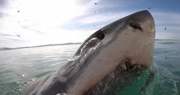 惊魂!南非大白鲨张血盆大口仅与潜水员咫尺之隔
