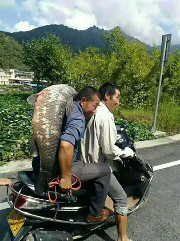 陕西安康一大坝泄洪,村民捡到重达50余斤的青鱼(图)