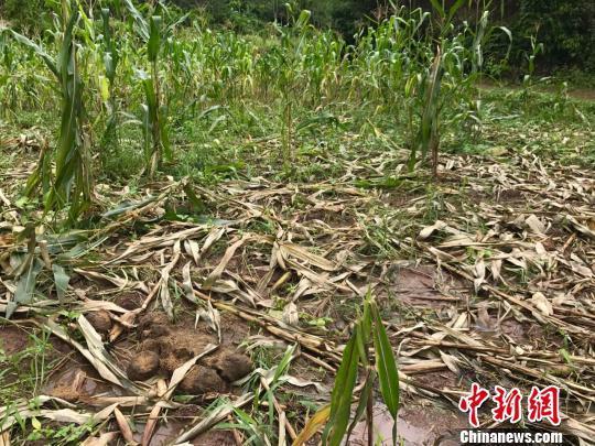 """云南西双版纳一村庄遭象群""""抢食"""" 幸无人伤亡"""